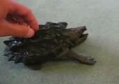 Gefährliche Schildkröte
