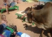 Der Oxe macht Urlaub am Strand