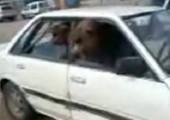 Zwei Kamele im Auto