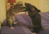 Ratten Anstarr-Contest