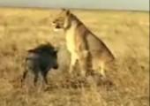 Löwe vs. Warzenschwein