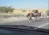 Pferd vs. Auto
