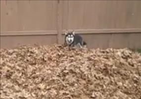 Husky und Laubhaufen