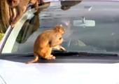 Vorsicht vor den Affen!
