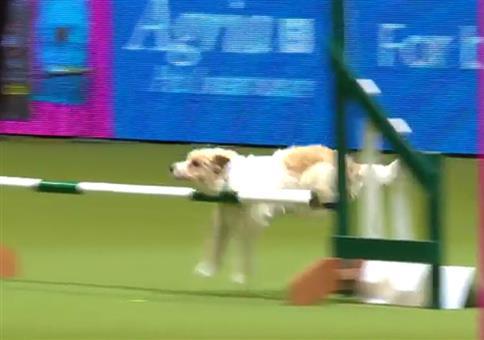 Olly der Hund dreht auf Hundeshow frei