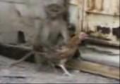 Affe klaut Huhn