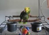 Papagei macht Babygeschrei nach