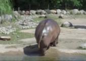 Nilpferd beim scheißen