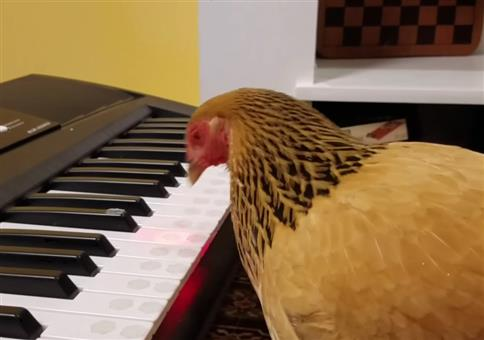 Huhn spielt America the Beautiful auf nem Keyboard