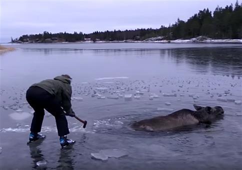 In Eis eingebrochenen Elch retten