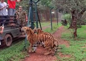 Tiger springt verdammt hoch