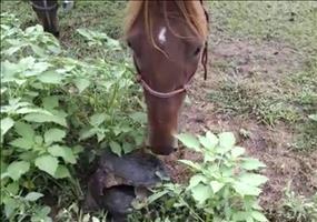 Schilkröte vs. neugieriges Pferd