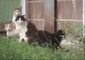 Ratte trifft auf vier Katzen