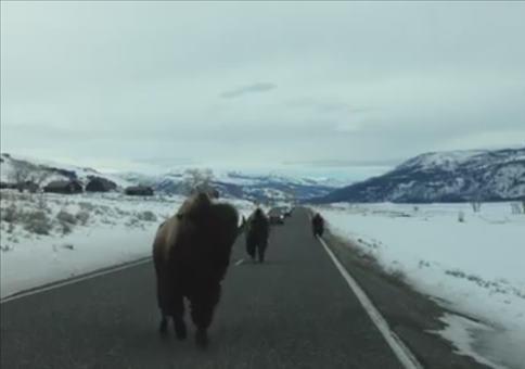 Kurzsichtiger Büffel auf Kollisionskurs