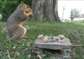 Eichhörnchen bedankt sich für die Nüsse
