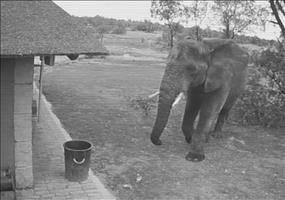 Elefant räumt Müll weg
