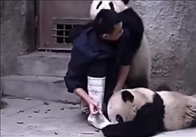 Der Zoowärter und die Pandas