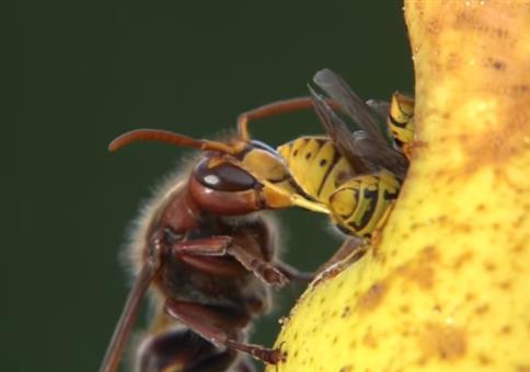 Hornissen und Wespen- Krieg im Garten