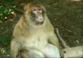 Affe schaut erstaunt