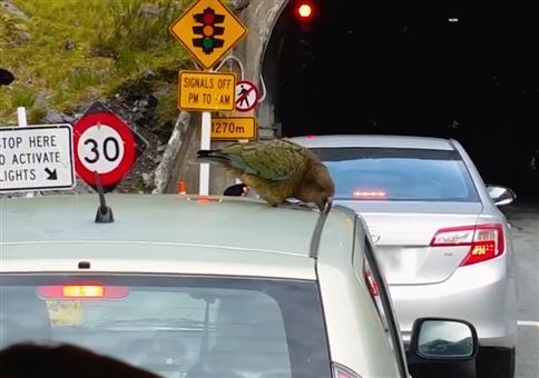 Dieser Vogel zerlegt die Autos