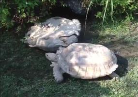 Hilfsbereite Schildkröte