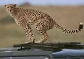 Leopard scheißt auf Doku-Filmteam
