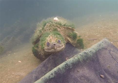 Eine uralte Schnappschildkröte sagt mal kurz Hallo
