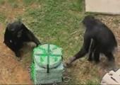 Schimpansen kooperieren sehr gerne