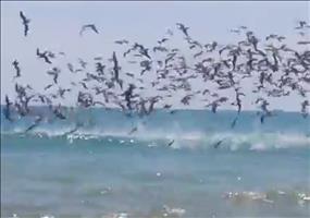 Sturzvogelschwarm