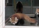 Kleiner Panda erschreckt sich