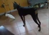 Kakadu weist Dobermann in die Schranken