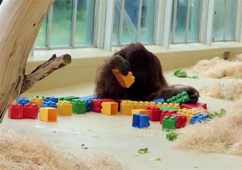 Affe spielt mit Lego