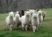 Star Wars Alpaca