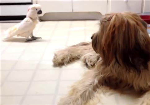 Wenn dein Kakadu deinen Hund imitiert
