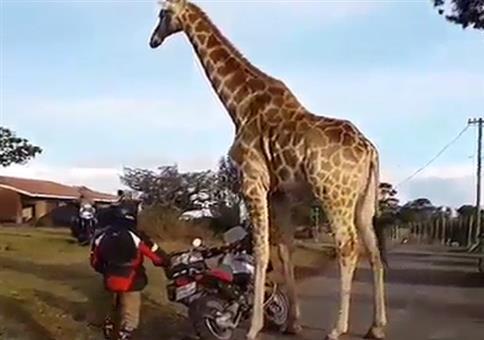 Habt ihr schonmal eine Giraffe auf nem Motorrad fahren sehen?