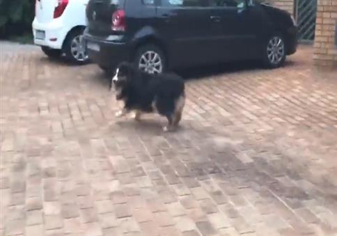 Hund verschätzt sich leicht beim Absprung