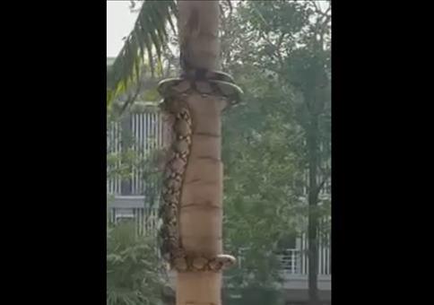 Schlange klettert Baum hoch
