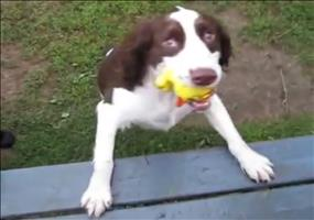 Blinder Hund spielt Fange
