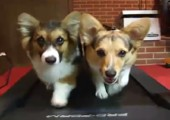 Hunde auf Laufband
