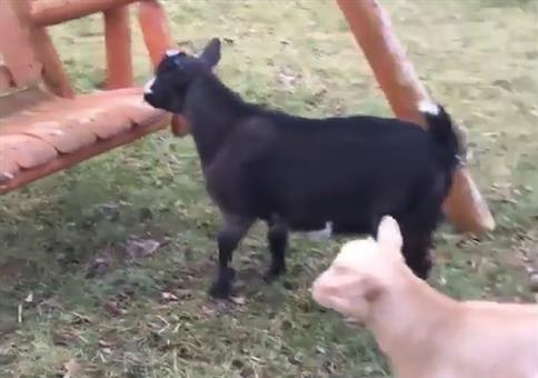 Ricky die Ziege auf der Schaukel