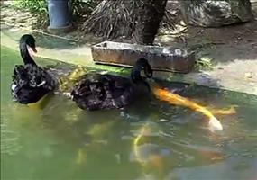 Schwarze Schwäne füttern Koi Fische