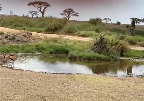 Gazelle weicht Löwe aus