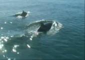 Delphine spielen mit Quallen