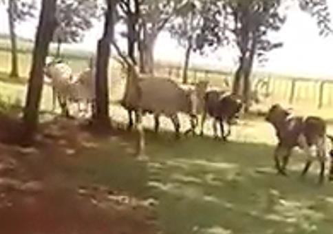 Ziege VS Kuh