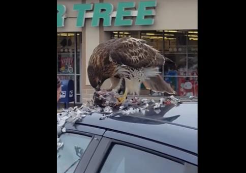 Greifvogel zerlegt seine Beute auf Autodach