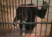 Schimpanse löst Problem um an eine Erdnuss zu gelangen
