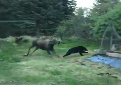 Schwarzbär legt sich mit Elch an