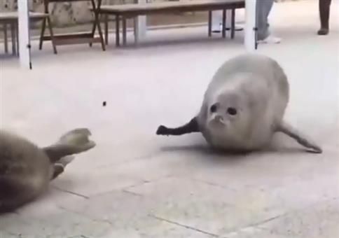 WTF zum Sonntag: Hüpfende Robben