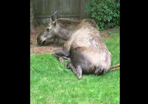 Wenn in deinem Garten die Elche chillen