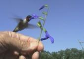 Kolibri frisst aus Hand